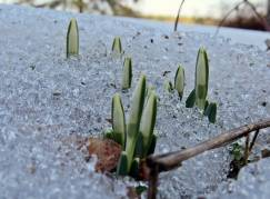 ... och i snön som ligger kvar i rabatten.