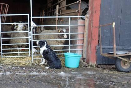 Ess vaktar fårskallarna ... och Olle fick inte komma fram och titta ...