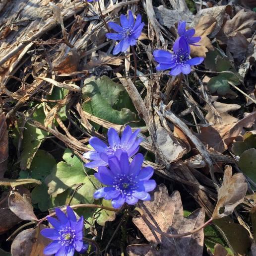 blå sippor, ungerska blåstppor