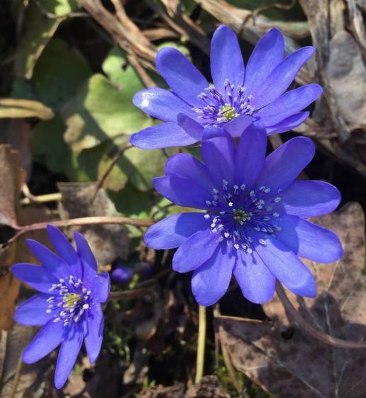 blå sippor