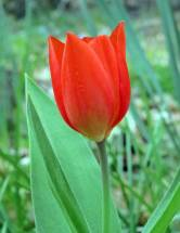 ... en röd fin tulpan ...
