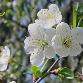 Nu är det körsbärsblommornas tid. Även de vanliga är vackra i sin enkelhet.