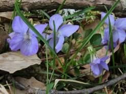 ... och blå violer ...