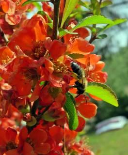 Ett litet, litet bi ... ingen aning vad det kan vara för sort ...