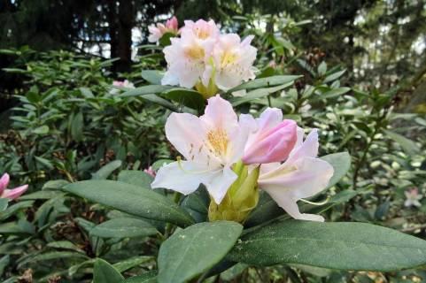 Nu börjar rhododendronen blomma ...