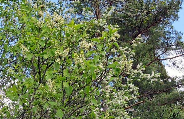 Häggen blommar för fullt och de vita syrenerna börjar också blomma nu - och skomakaren får ingen semester i år heller!
