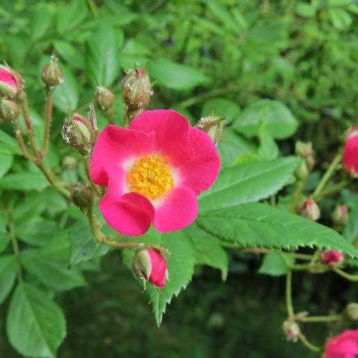 Stor rosbuske med enkla blommor som bleknar till mer rosa - blommar från midsommar tills frosten tar dem ...