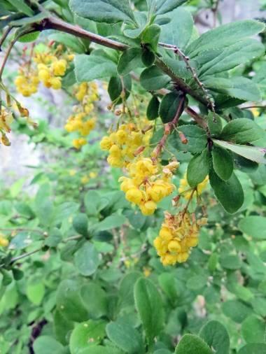Berberisbusken blommade ...