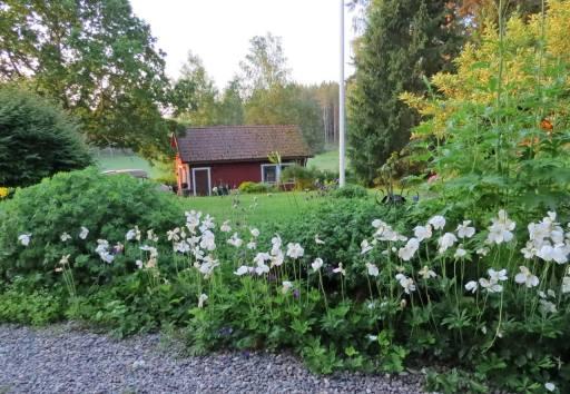 När jag öppnar dörren och tittar rakt fram så ser jag detta ... och snart har tovsipporna blommat klart :)