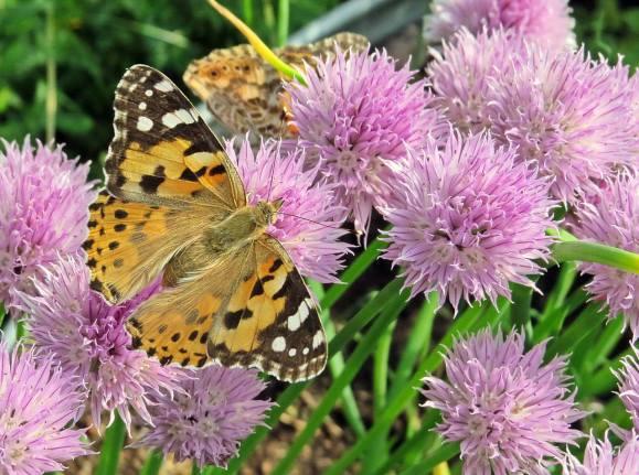 Massor med tistelfjärilar har kommit från Sydeuropa och Nordafrika ...