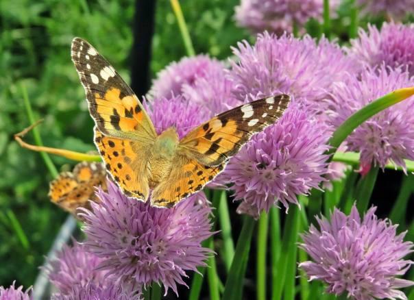 Vackra och de tycks älska all blommor ... här på gräslök.