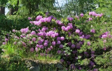 Jättestor rhododendron blommade för fullt mitt ute i skogen ...