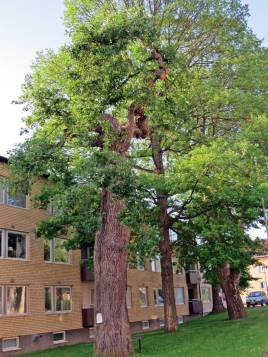 Några träd ... bl.a. en ek ...