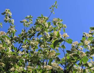 Oxelns blommor har varit många, men börjar nu vara överblommade.