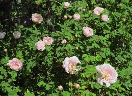 """Det """"vilda"""" rosensnåret med dubbla väldoftande rosor - som älskas av alla insekter :)"""