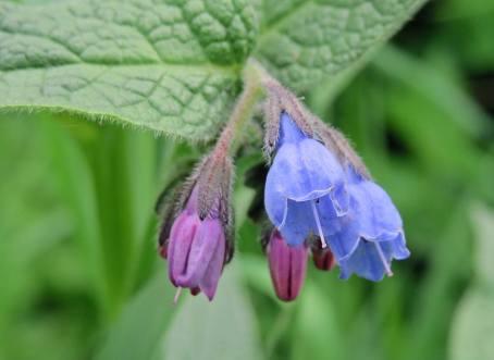 Vallört - en populär blomma bland humlor och bin - vallört