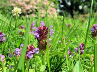... liksom brunörten i gräsmattan. mycket älskad av alla insekter.