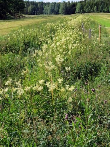 Diket fullt med älggräs, som sprider en härlig doft av sommar.