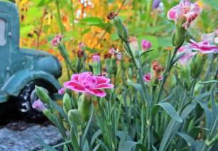 En liten trädgårdsnejlika ... och solen färgar världen orange ...