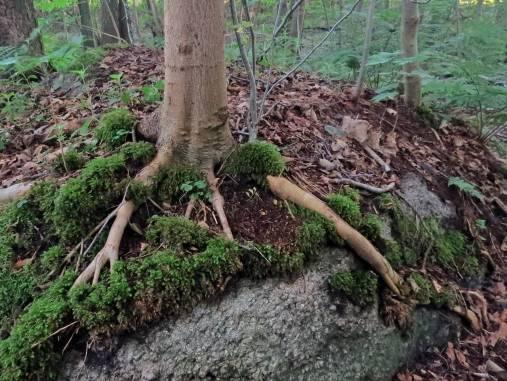 Ett träd som häller sig fast med sina händer!