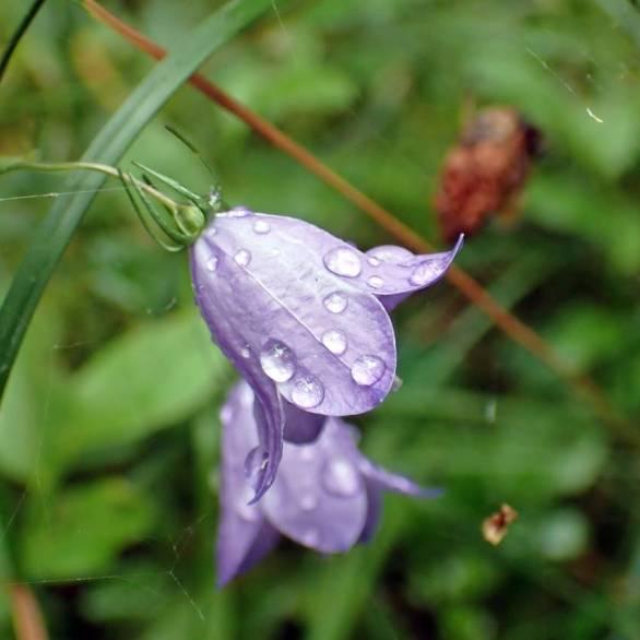 Blåklockan hade träffats av de få regndropparna som föll ...