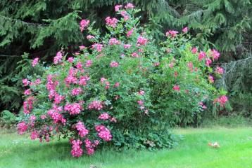 En rosfavorit som blommar från midsommar och fram till dess frosten sätter stopp. Tyvärr har jag tappat bort namnet ...