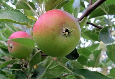Några äpplen ser det ut att bli ...