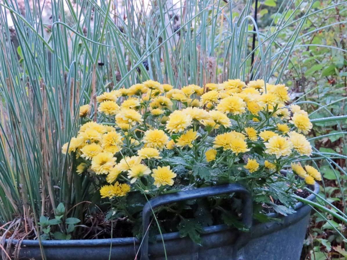 En liten krysantemum fick göra gräslöken sällskap ...