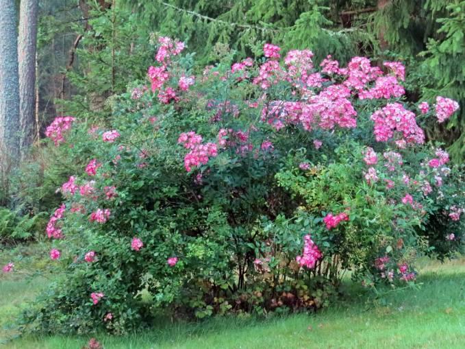 Den här rosbusken kommer att blomma fram tills frosten sätter stopp ... tyvärr har jag inget namn på den.