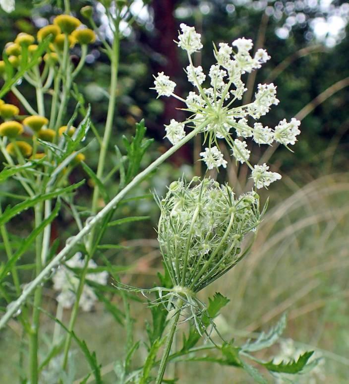 Vildmorot ... både blomma och fröställning - och renfana i bakgrunden