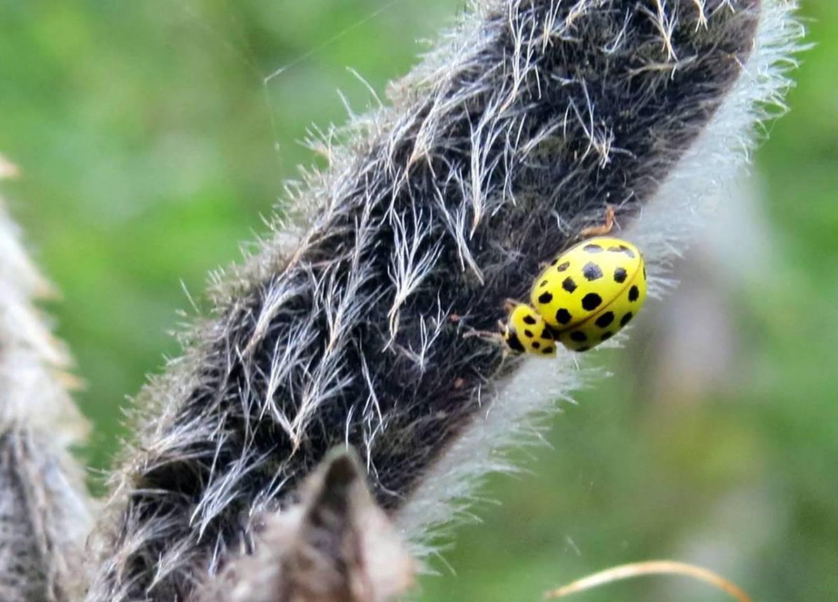 Tjugotvåprickig nyckelpiga - ja den heter faktiskt så! Här på en fröbalja på en lupin.