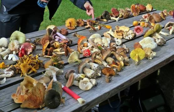 Många svampar att titta på - och jag berättade om dem och visade på både goda matsvampar och farliga giftsvampar ...