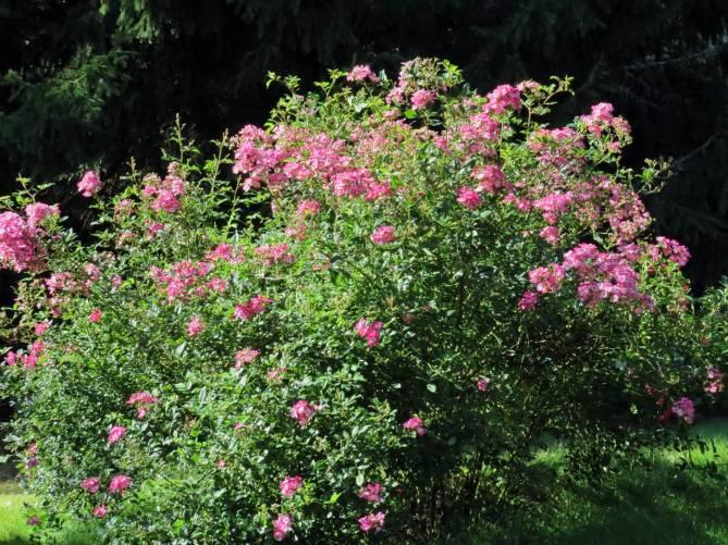 Rosbusken blommar fortfarande ...
