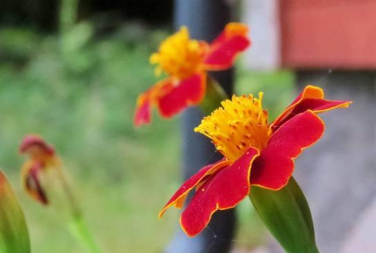 Favorittagetes är denna Linnétagetes ... blommar också ortfarande