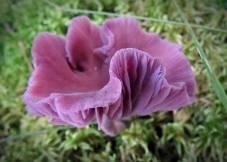 Ametistskivling, vacker svamp som innehåller arsenik!