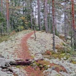 Stigen går genom mattor av renlav och fönsterlav på berget ...