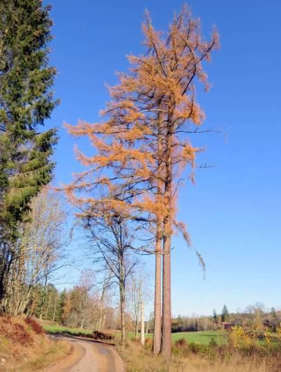 Lärkträdet utefter vägen ...