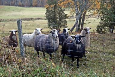 Farligast var fåren som förföljde oss ... och som lät konstigt ...