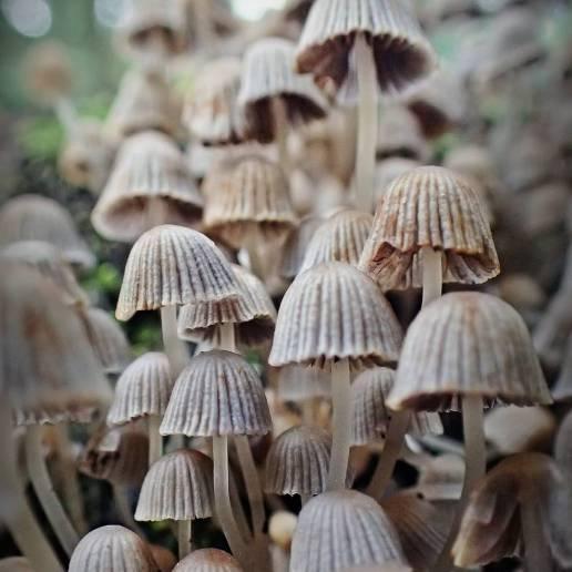 Stubbläcksvampar ...