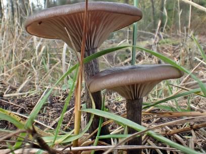 Trattnavling, står som ätlig i gamla svampböcker, men anses numer inte som någon matsvamp.