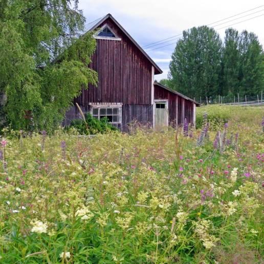 ... som här med en blomsteräng vid Järvsand ...
