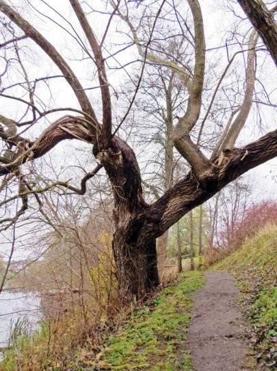 Gamla träd kantar gångvägen ...