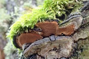 ... vanligast på olika sälgarter, men förekommer även på andra lövträd.