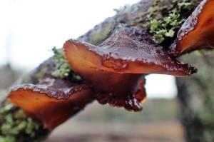 ... en gelésvamp på grenar av lövved ...