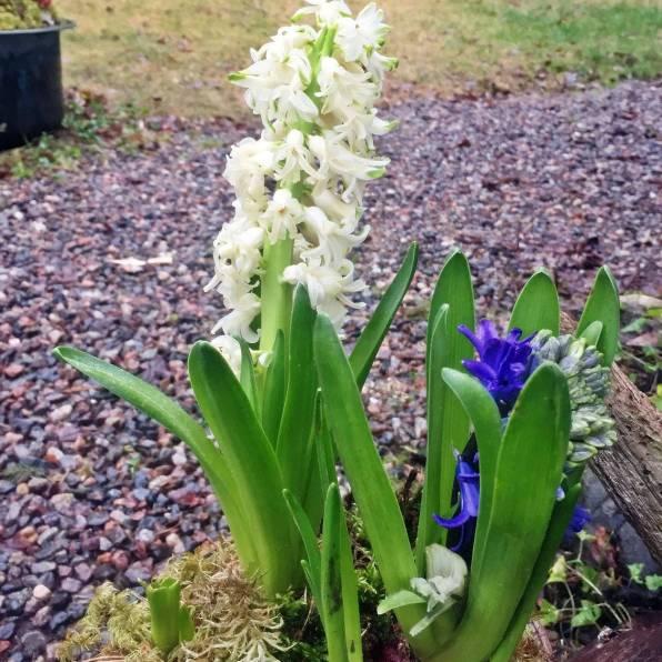 Den vita blommar fortfarande ...