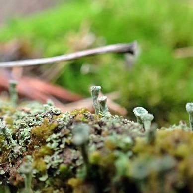 Små,små bägarlavar på resterna av en stubbe.