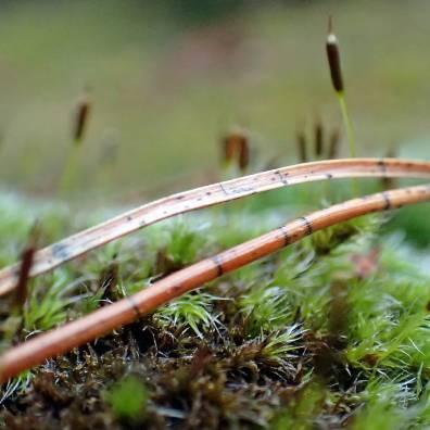 De svarta strecken på tallbarret är faktiskt också en svamp, barrsprickling ...
