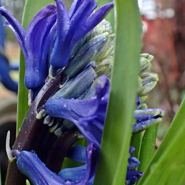 Den blå har en ny blomma på gång.