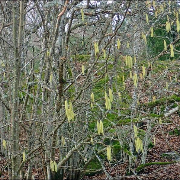 ... och en hasselbuske med gula hängen. De små honblommorna hade inte slagit ut än ...
