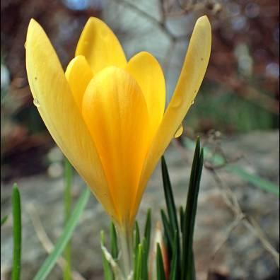 ... och en utslagen gul krokus.